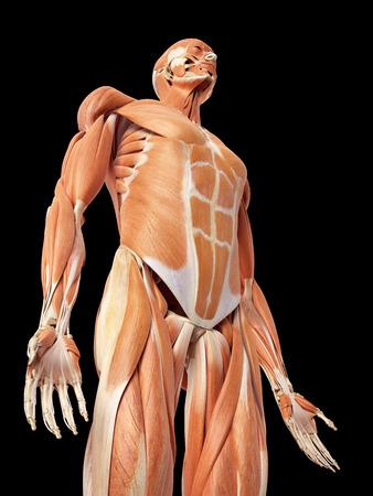 pr�cis: illustration m�dicale pr�cise du syst�me musculaire