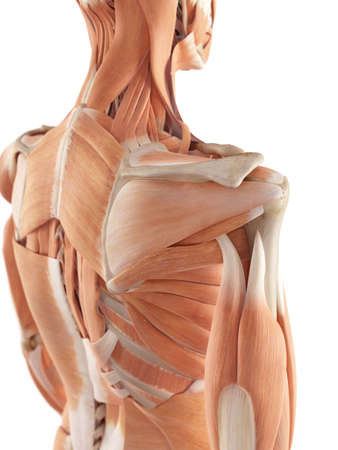 posterior: medical accurate illustration of the shoulder muscles