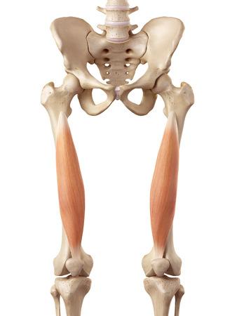 medical accurate illustration of the vastus intermedius Stock Photo