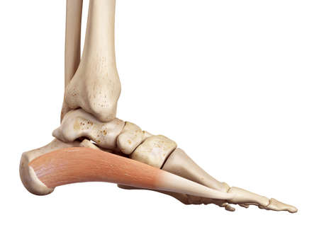 musculature: medical accurate illustration of the abductus hallucis Stock Photo