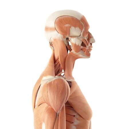 hombros: ilustración médica precisa de los músculos superiores Foto de archivo