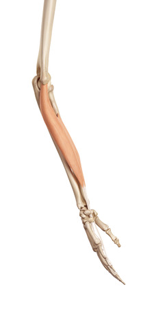 flexor: medical accurate illustration of the flexor digitorum superficialis Stock Photo
