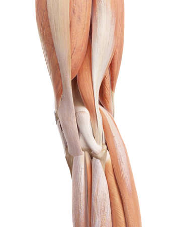 accurate: medical accurate illustration of the knee
