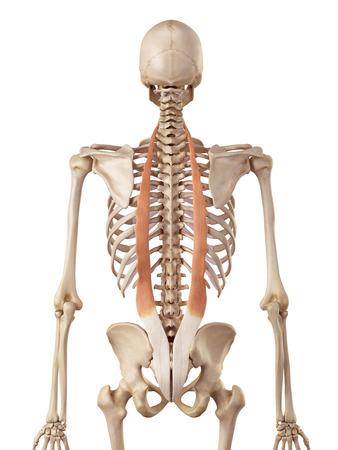 musculature: medical accurate illustration of the iliocostalis