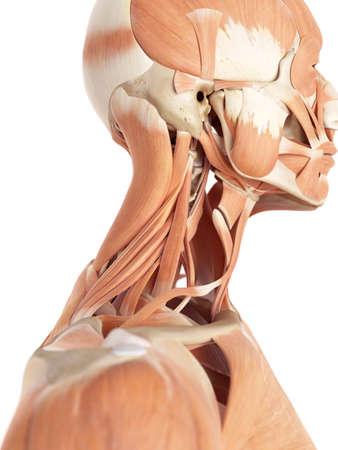 collo: illustrazione medica accurata dei muscoli del collo