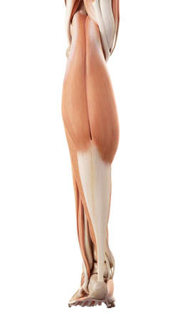 legs: medical accurate illustration of the lower leg muscles