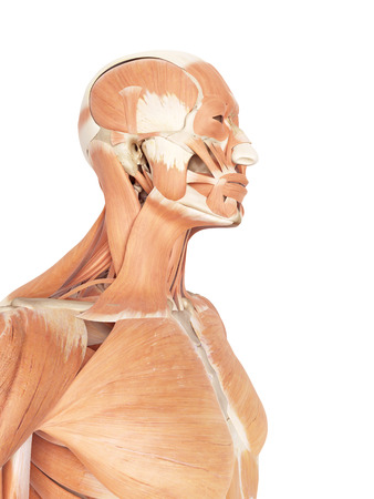 musculature: medical accurate illustration of the neck and throat muscles Stock Photo