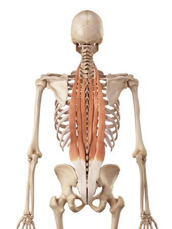 accurate: medical accurate illustration of the deep back muscles