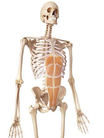 rectus: medical accurate illustration of the rectus abdominis