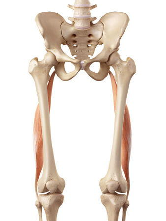 medical accurate illustration of the biceps femoris longus Stock Photo