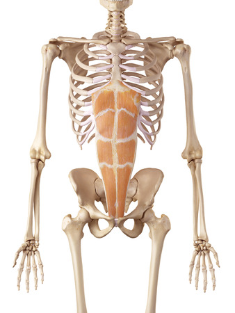 accurate: medical accurate illustration of the rectus abdominis
