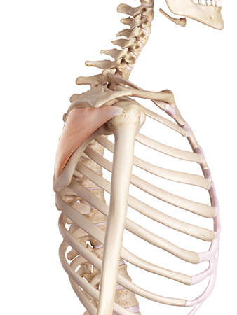 accurate: medical accurate illustration of the infraspinatus