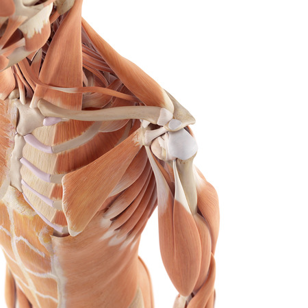 bone anatomy: medical accurate illustration of the shoulder muscles