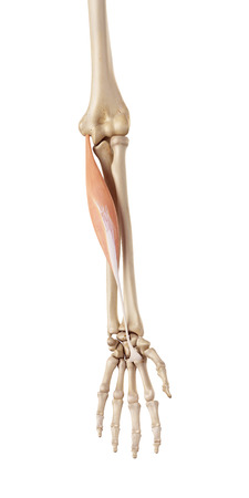 accurate: medical accurate illustration of the flexor carpi radialis Stock Photo