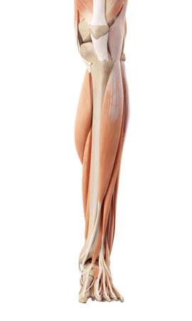 legs  white: medical accurate illustration of the lower leg muscles