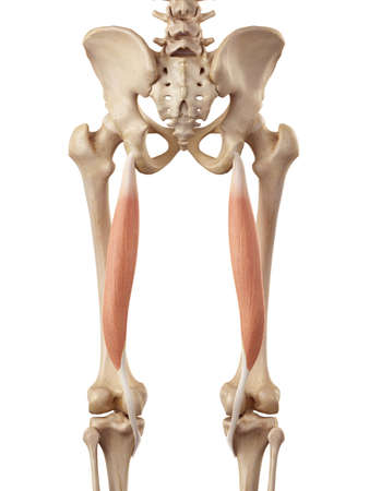 upper leg: medical accurate illustration of the semitendinosus Stock Photo