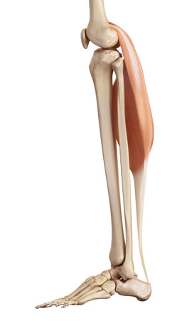 lower limb: medical accurate illustration of the gastrocnemius Stock Photo