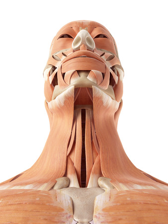 accurate: medical accurate illustration of the neck and throat muscles Stock Photo