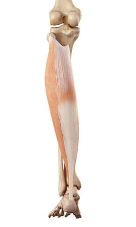 posterior: medical accurate illustration of the soleus