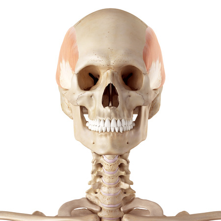 facial muscles: medical accurate illustration of the temporalis Stock Photo
