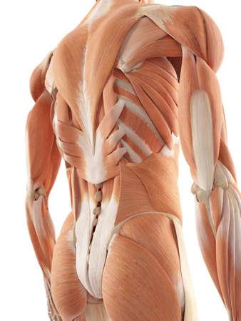 anatomia: ilustración médica precisa de los músculos de la espalda Foto de archivo