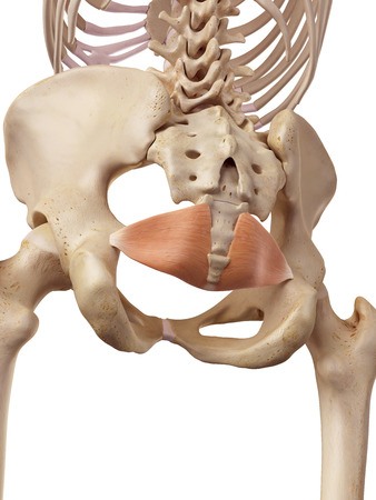 musculature: medical accurate illustration of the iliococcygeus Stock Photo