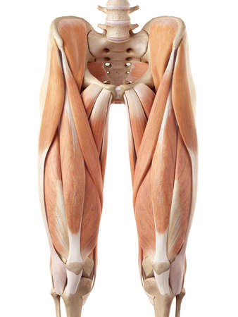 bone anatomy: medical accurate illustration of the upper leg muscles
