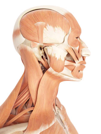 facial muscles: medical accurate illustration of the facial muscles