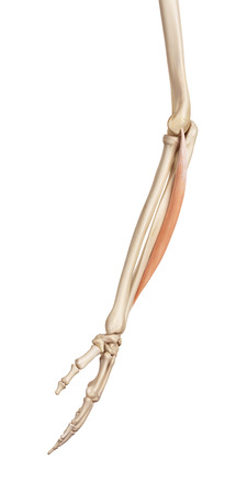 musculature: medical accurate illustration of the carpi ulnaris Stock Photo