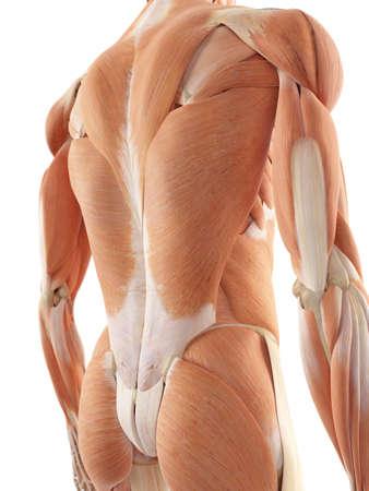 musculo: ilustración médica precisa de los músculos de la espalda Foto de archivo