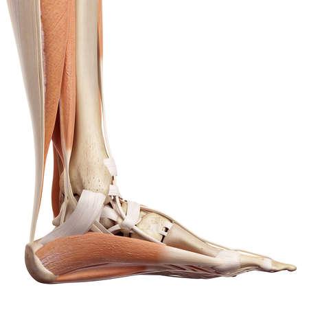 médicale illustration précise des muscles du pied Banque d'images