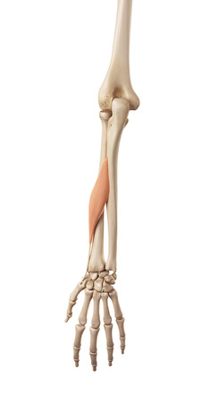 abductor: medical accurate illustration of the abductor pollicis longus
