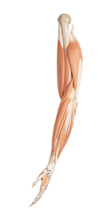 musculature: medical accurate illustration of the arm muscles Stock Photo