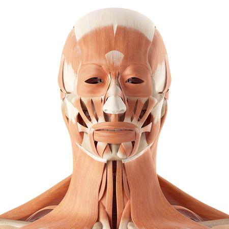 pr�cis: m�dicale illustration pr�cise des muscles faciaux