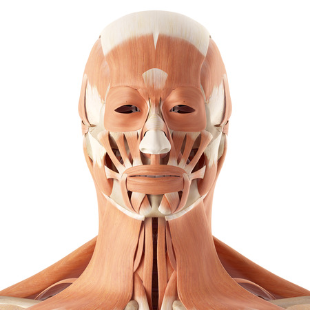 accurate: medical accurate illustration of the facial muscles