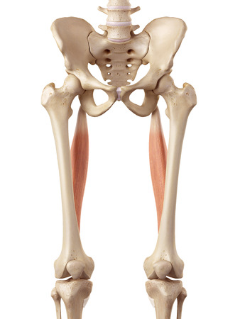 accurate: medical accurate illustration of the semitendinosus Stock Photo