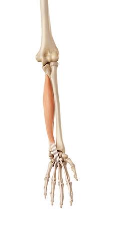 musculature: medical accurate illustration of the flexor digitorum profundus Stock Photo