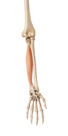 arms: medical accurate illustration of the flexor digitorum profundus Stock Photo