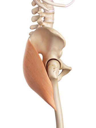 ilium: medical accurate illustration of the gluteus maximus Stock Photo