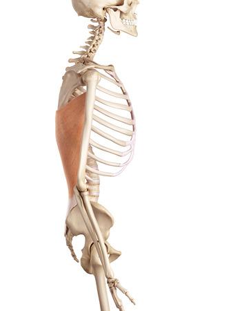 latissimus: medico illustrazione accurata del gran dorsale Archivio Fotografico