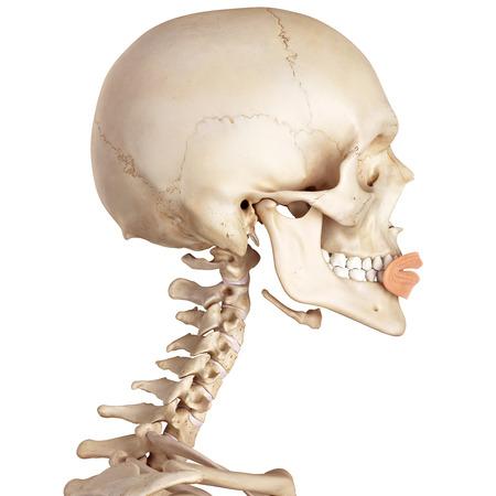 accurate: medical accurate illustration of the orbicularis oris