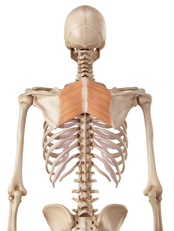 accurate: medical accurate illustration of the rhomboid muscles
