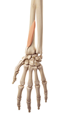 extensor: medical accurate illustration of the extensor pollicis brevis