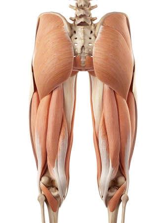 pr�cis: illustration m�dicale pr�cise des muscles de la jambe sup�rieure