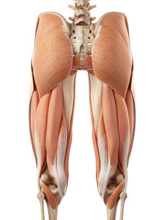 thighs: ilustración médica precisa de los músculos superiores de la pierna Foto de archivo
