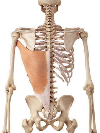 dorsi: medical accurate illustration of the latissimus dorsi