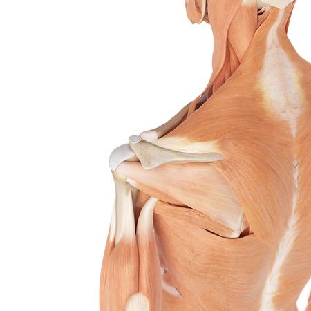 hombros: ilustración médica precisa de los músculos del hombro