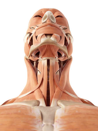 accurate: medical accurate illustration of the neck muscles