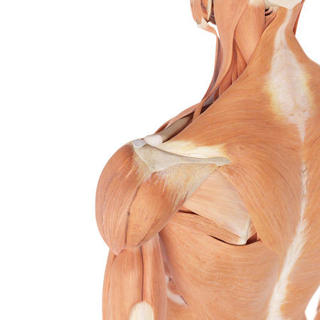 deltoid: medical accurate illustration of the shoulder muscles