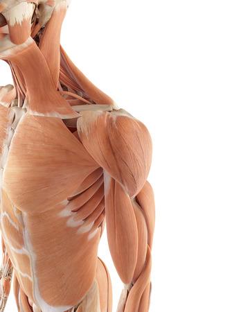 medische nauwkeurige illustratie van de schouderspieren Stockfoto